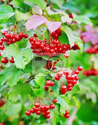 czerwone jagody kaliny na gałęzi z liśćmi na zewnątrz