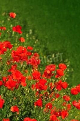 Fototapeta Czerwone kwiaty maku w polu, wiosna tle