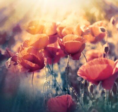 Fototapeta Czerwone maki na łące - dzikie kwiaty maku