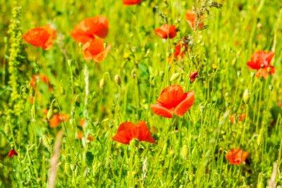 Fototapeta Czerwone maki na łące letniej
