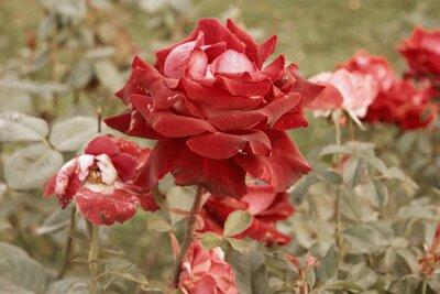 Fototapeta Czerwono Kremowa Róża Umiera W Jesiennym Ogrodzie Zwiędła Róża