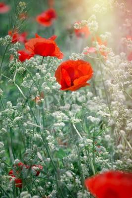 Fototapeta Czerwony kwiat maku w łąki