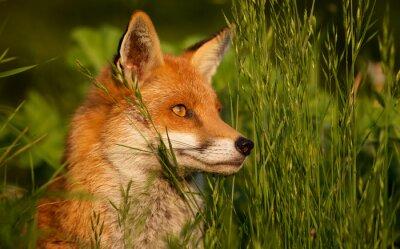 Fototapeta czerwony lis