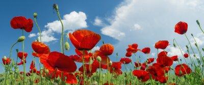 Fototapeta czerwony mak i chmury