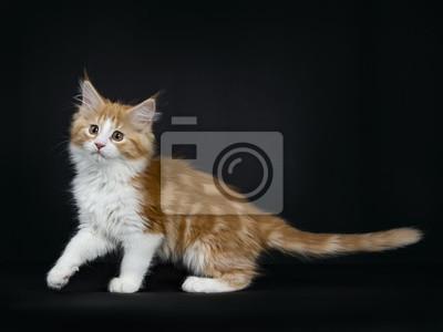 Czerwony Pręgowany Wysoki Biały Kot Maine Coon Kotek Idąc Do