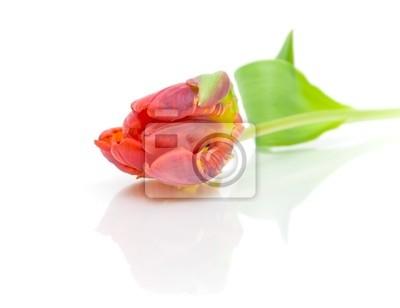 Fototapeta czerwony tulipan na białym tle