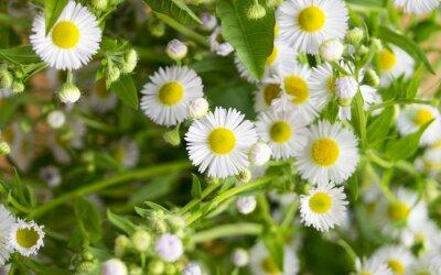 Fototapeta Daisies. Małe białe kwiecie.