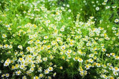 Fototapeta Daisy kwiat tła
