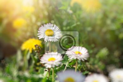 Fototapeta Daisy kwiaty na łące - piękna wiosna