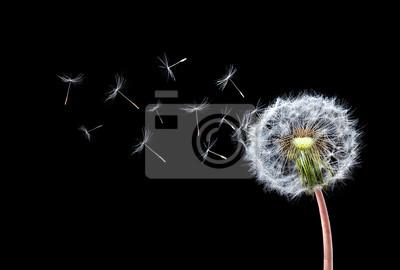 Fototapeta Dandelion Flying