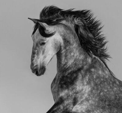 Fototapeta Dapple-gray andaluzyjski ogier - portret w ruchu