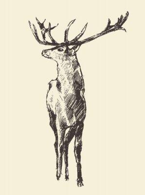 Fototapeta Deer grawerowanie, vintage ilustracji wektorowych