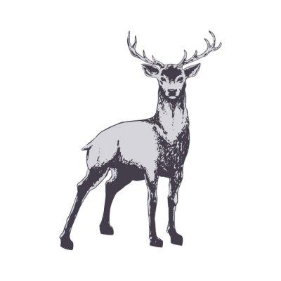 Fototapeta Deer wyizolowanych na białym tle