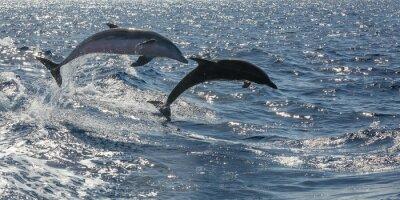 Fototapeta delfiny pływanie off wolne Teneryfa