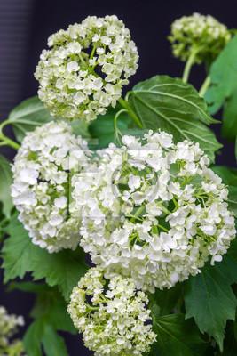 Fototapeta Delikatne białe kwiaty hortensji samodzielnie na ciemnym tle.