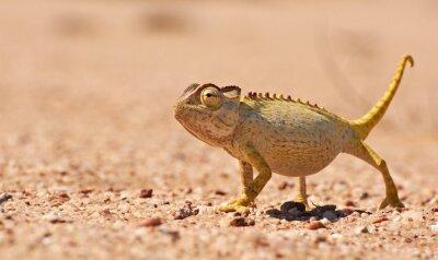 Fototapeta Desert Chamaeleon w Namib, Namibia