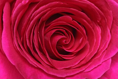 Fototapeta Détail d'une rose