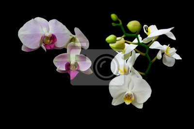 Fototapeta different flowers of orchids on a black background