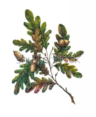 Fototapeta Dłoń akwarela gałęzi drzewa dębowego, liście i żołędzie na białym tle. Botaniczny ilustracji w stylu vintage. Rustykalny element boho ręcznie malowane, dekoracje slubne.