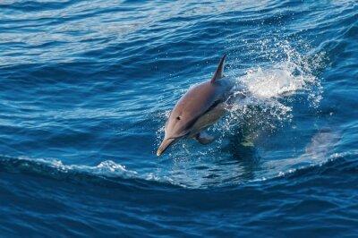 Fototapeta Dolphin skoków z wody