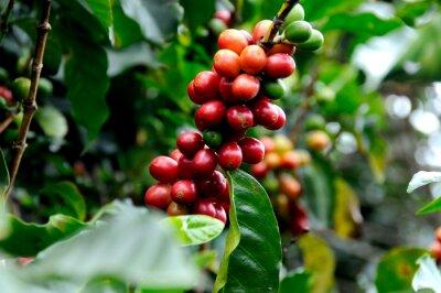 Fototapeta Doskonała kawa z Kostaryki.