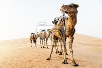 Fototapeta Dromader w Saharze. Maroko.