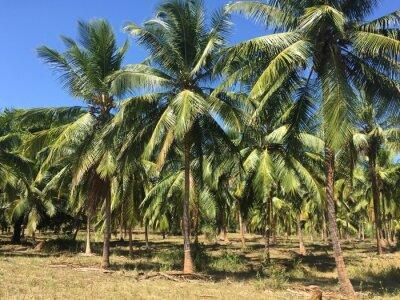 Fototapeta Drzewa kokosowe