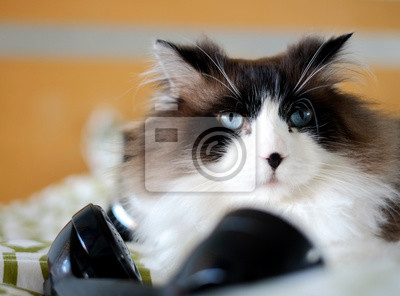 Duże Piękne Regal Brązowy Bi Kolor Kot Ragdoll Z Niebieskimi