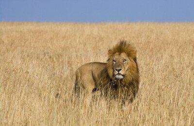 Fototapeta Duży samiec lwa w sawanny. Park Narodowy. Kenia. Tanzania. Masajowie Mara. Serengeti. Doskonałą ilustracją.