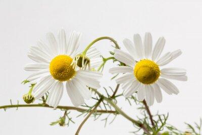 Fototapeta Dwa kwiaty rumianek dołączone do siebie, białe tło