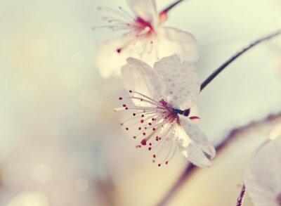 Fototapeta Dwa kwiaty wiśni zbliżeniu