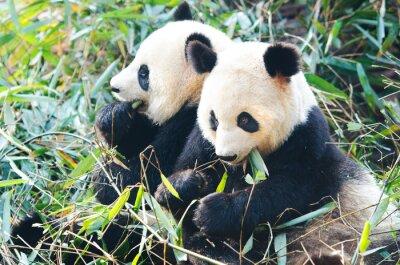 Fototapeta Dwa Niedźwiedzie Panda jedzenie bambusa, siedząc obok siebie, w Chinach