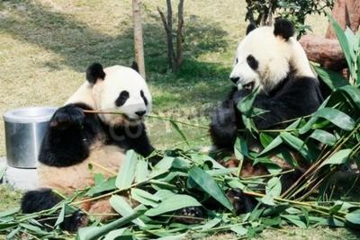 Fototapeta Dwa olbrzymie pandy jedzenie bambusa