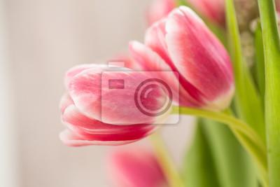 Fototapeta Dwa Różowe Tulipany Obejmuje W Uścisku