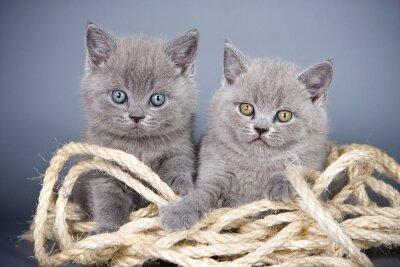 Fototapeta Dwa szary kotek brytyjski i liny na szarym tle