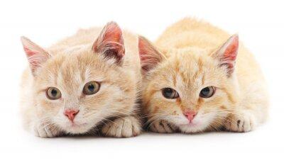 Fototapeta Dwie czerwone koty.