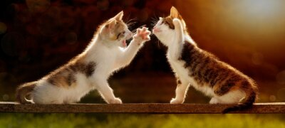 Fototapeta Dwie młode koty bawiące się na drewnianej desce pod światło