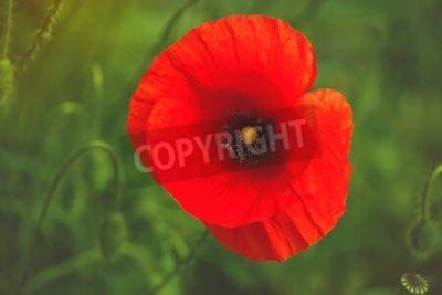 Fototapeta Dziki czerwony kwiat maku w dziedzinie