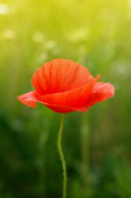 Fototapeta Dziki kwiat maku na polu