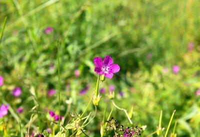 Fototapeta Dziki kwiat na łące