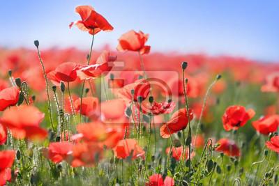 Fototapeta Dzikie czerwone kwiaty maku na łące