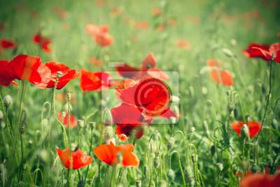 Fototapeta Dzikie czerwone kwiaty maku na łące w wysokiej trawie