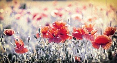 Fototapeta Dzikie czerwone kwiaty maku w łąki - piękna wiosna