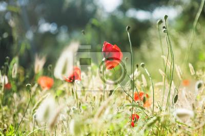 Fototapeta Dzikie czerwone kwiaty maku w lesie łąki.