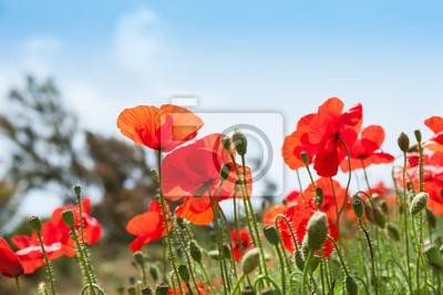 Fototapeta Dzikie czerwone kwiaty maku w polu.