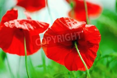 Fototapeta Dzikie czerwone kwiecie maku w dziedzinie, selektywnym focus