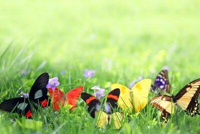Fototapeta Egzotyczne motyle Kadrowanie zielonym tle trawy