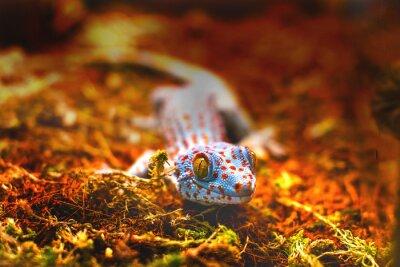 Fototapeta egzotycznych zwierząt toke jaszczurki