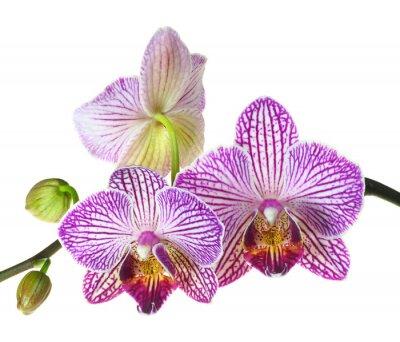 Fototapeta Ekstremalne głębia ostrości Zdjęcie Trójki Orchid Blooms