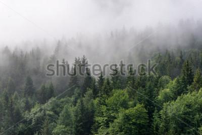 Fototapeta Evergreen Forest Overview - Topy wysokich drzew z gęstą mgłą toczącą się w bujnej dziczy